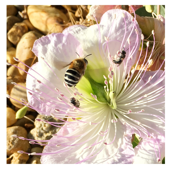 Colette and Carder bees in a caper flower